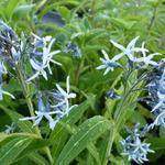 Amsonia tabernaemontana - Blauwe ster / stermaagdenpalm - Amsonia tabernaemontana
