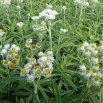 Anaphalis margaritacea 'Neuschnee' - Witte knoop, Siberische edelweiss - Anaphalis margaritacea 'Neuschnee'