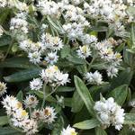 Siberische edelweis - Anaphalis triplinervis