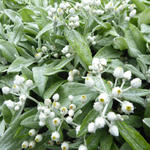 Anaphalis triplinervis 'Silberregen' - Anaphalis triplinervis 'Silberregen' - Siberische edelweis