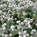 Siberische edelweis - Anaphalis triplinervis 'Sommerschnee'