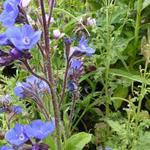 Ossetong - Anchusa azurea 'Loddon Royalist'