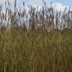 Andropogon gerardii 'Prairie Sommer' - Andropogon gerardii 'Prairie Sommer' - Baardgras