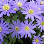 Anemone blanda 'Blue Shades' - Blauwe anemoon / oosterse anemoon