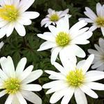 Anemone blanda 'White Splendour' - Anemoon - Anemone blanda 'White Splendour'