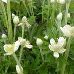 Kaarsanemoon - Anemone cylindrica