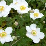 Japanse anemoon - Anemone hybrida 'Coupe d'Argent'