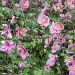 Anemone hupehensis 'Praecox' - Herfstanemoon - Anemone hupehensis 'Praecox'