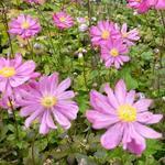 Herfstanemoon - Anemone hupehensis 'Prinz Heinrich'