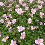 Anemone hupehensis 'Splendens' - Herfstanemoon - Anemone hupehensis 'Splendens'