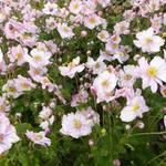 Japanse anemoon - Anemone x hybrida 'Königin Charlotte'