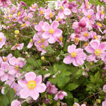 Anemone x hybrida 'Rosenschale' - Herfstanemoon - Anemone x hybrida 'Rosenschale'