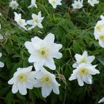 Anemone nemorosa - Bosanemoon - Anemone nemorosa