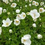 Anemone sylvestris - Anemoon - Anemone sylvestris