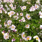 Anemone tomentosa 'Robustissima' - Herfstanemoon - Anemone tomentosa 'Robustissima'