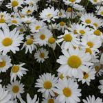Anthemis carpatica 'Karpatenschnee' - Schubkamille - Anthemis carpatica 'Karpatenschnee'