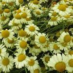 Gele kamille - Anthemis x hybrida 'E.C. Buxton'