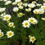 Anthemis x hybrida 'Sauce Hollandaise' - Kamille - Anthemis x hybrida 'Sauce Hollandaise'