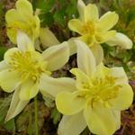 Akelei - Aquilegia chrysantha 'Yellow Queen'