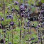 Aquilegia vulgaris 'Black Barlow' - Aquilegia vulgaris 'Black Barlow' - Akelei