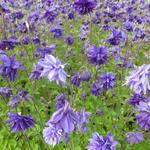 Aquilegia vulgaris 'Blue Barlow' - Aquilegia vulgaris 'Blue Barlow' - Akelei