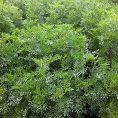 Artemisia abrotanum -