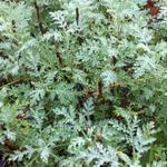 Artemisia abrotanum 'Courson' - Artemisia abrotanum 'Courson' - Citroenkruid