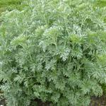 Artemisia absinthium - Artemisia absinthium - Alsem, absinth