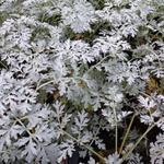 Artemisia absinthium 'Lambrook Silver' - Alsem - Artemisia absinthium 'Lambrook Silver'