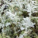 Artemisia arborescens 'Little Mice' - Artemisia arborescens 'Little Mice' - Alsem