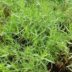 Artemisia dracunculus - Dragon - Artemisia dracunculus