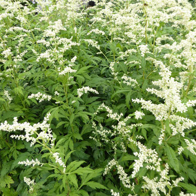 Artemisia lactiflora 'Elfenbein' - Alsem - Artemisia lactiflora 'Elfenbein'