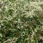 Artemisia lactiflora 'Guizhou' - Artemisia lactiflora 'Guizhou' - Alsem, Bijvoet