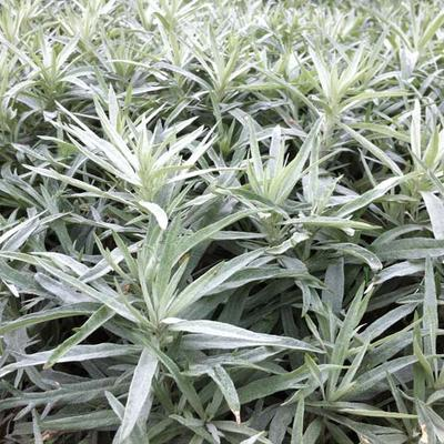 Artemisia ludoviciana 'Silver Queen' - Westerse bijvoet - Artemisia ludoviciana 'Silver Queen'