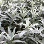 Alsem, Bijvoet, Edelruit - Artemisia ludoviciana 'Valerie Finnis'