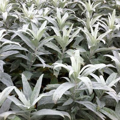 Artemisia ludoviciana 'Valerie Finnis' - Alsem, Bijvoet, Edelruit - Artemisia ludoviciana 'Valerie Finnis'