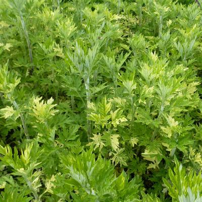 Artemisia vulgaris 'Oriental Limelight' -