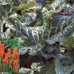 Arum italicum - Arum italicum - Aronskelk