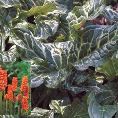 Arum italicum -
