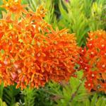 Asclepias tuberosa - Zijdeplant - Asclepias tuberosa