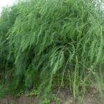 Asparagus officinalis  - Asparagus officinalis  - Asperge
