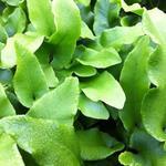 Asplenium scolopendrium 'Undulatum' - Gerimpelde tongvaren - Asplenium scolopendrium 'Undulatum'
