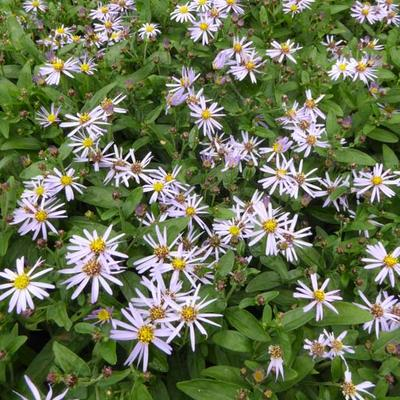 Aster ageratoides 'Adustus Nanus' - Aster - Aster ageratoides 'Adustus Nanus'