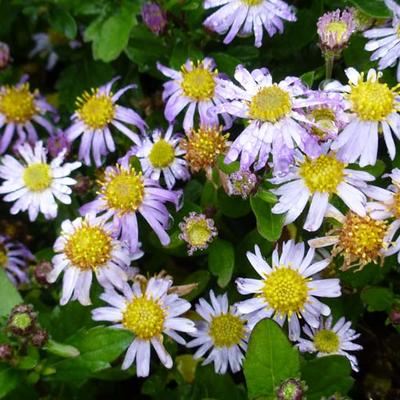 Aster ageratoides 'Asmoe' - Aster - Aster ageratoides 'Asmoe'