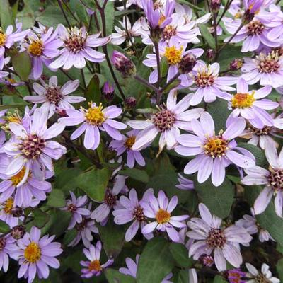Aster ageratoides 'Harry Schmidt' - Aster - Aster ageratoides 'Harry Schmidt'