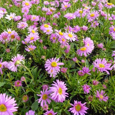 Aster alpinus 'Happy End' - Alpenaster