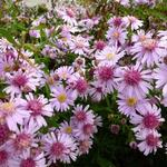 Aster lateriflorus 'Coombe Fishacre' - Aster - Aster lateriflorus 'Coombe Fishacre'