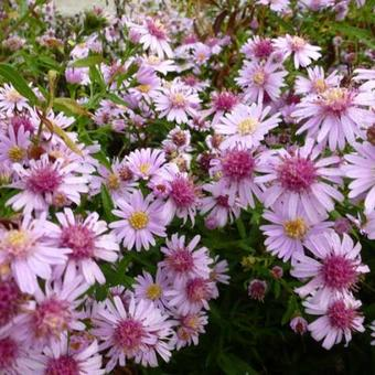 Aster lateriflorus 'Coombe Fishacre'