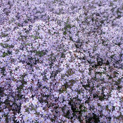 Aster cordifolius 'Blütenregen' -