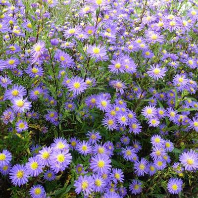 Aster ericoides 'Blue Wonder' -